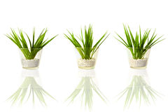 Three green plants Stock Image