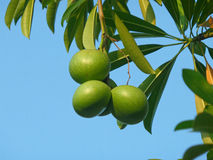 Three Green Pong-Pong Tree Fruits with Green Leaves Stock Images