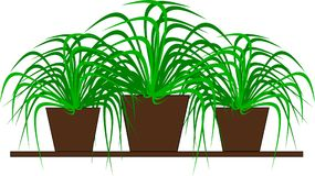 Three green potted plants for decoration. An illustration of three green potted plants for room decoration Vector Illustration