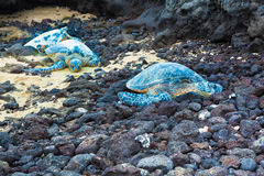 Three green sea turtles Stock Photo