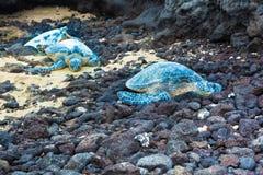 Three green sea turtles Stock Photo