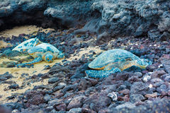Three green sea turtles Royalty Free Stock Image