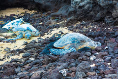 Three green sea turtles Royalty Free Stock Photography