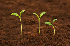 Three green seedlings. Growing out of soil Royalty Free Stock Photography
