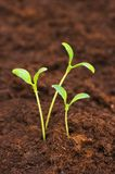 Three green seedlings growing out of soil stock images