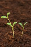 Three green seedlings  growing out of soil Stock Photo