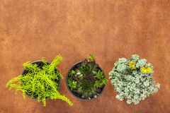 Three green succulent plants on brown leather background stock photo