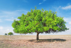 Three  green tree in torrid steppe Royalty Free Stock Photography