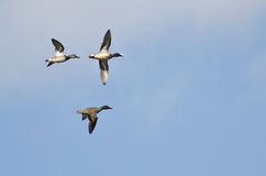 Three Green-Winged Teals Stock Photography