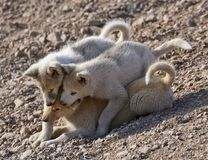 Three greenland dog puppies playing. Three greenland dog puppies having fun with playing outdoor in east greenland Royalty Free Stock Photo