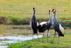 Three Grey Crowned Cranes standing on the lush grass in South Luangwa national Park. Family of Grey Crowned Crane`s , Balearica regulorum,formerly known as Stock Photos