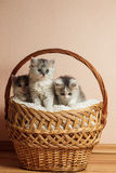 Three grey kittens Royalty Free Stock Photos