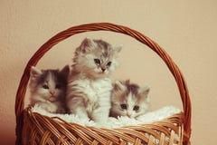 Three grey kittens Stock Image