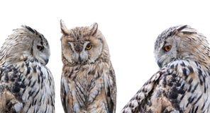 Three grey owls isolated on white background Stock Photography