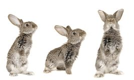 Three grey  rabbit Royalty Free Stock Photography