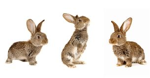 Three grey  rabbit Stock Photography