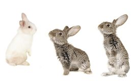 Three grey  rabbit Royalty Free Stock Image