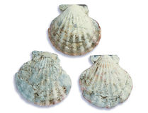 Three grey seashells Stock Photography