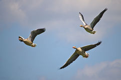 Three greylag geese in flight royalty free stock image