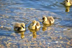 Three Greylag goslings on clear blue water Royalty Free Stock Images