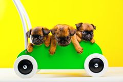 Three griffon baby dog in green shopping trolley Stock Photos