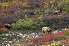 Three grizzly bears in tundra Royalty Free Stock Photos