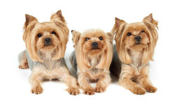 Three groomed dogs over white Stock Images