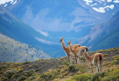 Three guanacoes in Torres del Paine stock image