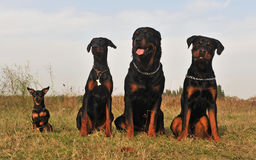 Three guard dogs and pinsher Stock Photo