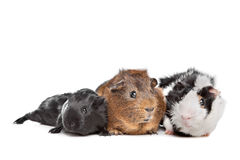 Three Guinea pigs Stock Photos