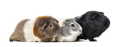 Three Guinea pigs, carvia porcellus, isolated Stock Photo