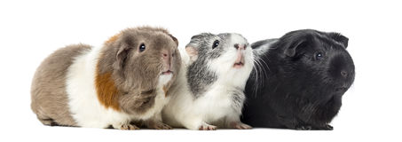 Three Guinea pigs, carvia porcellus, isolated Royalty Free Stock Image