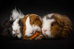 Three guinea pigs eating a carrot. Group of three young guinea pigs cavia porcellus on a black seamless background eating a carrot stock photo