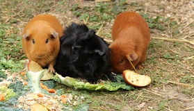 Three Guinea Pigs. Stock Images