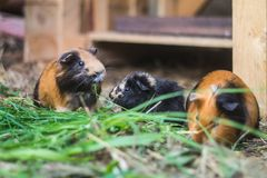Three guinea pigs eating grass. Outside Stock Image