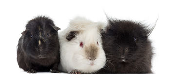 Three Guinea Pigs, isolated Royalty Free Stock Photography