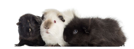 Three Guinea Pigs, isolated Royalty Free Stock Photo
