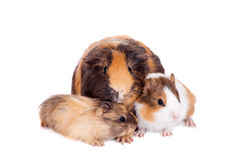 Three Guinea Pigs Royalty Free Stock Image