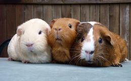 Three Guinea Pigs in a row stock images