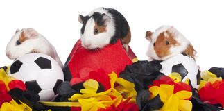 Three guinea pigs with soccer stuff Stock Photos