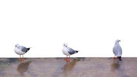 Three gulls. Three sea gulls. Isolated objects Stock Image