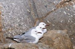 Three gulls. Three juvenile greyheaded gulls on granite boulder Royalty Free Stock Photo