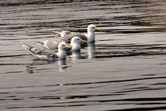 Three Gulls. Small Group Of Three Glaucous Gulls Swimming Together In Calm Water Stock Photos