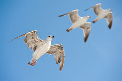 Three gulls Royalty Free Stock Photo