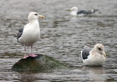 Three Gulls. Three Japanese Gulls feeling cold outside in the Winter Stock Photography