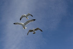 Three gulls. Flying under intense a blue sky and slightly dimmed Royalty Free Stock Photography