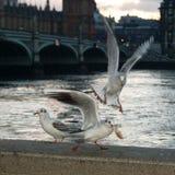 Three Gulls At The Thames Stock Image