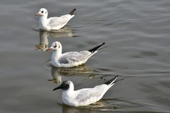 Three Gulls. Three black-headed gulls swimming in formation on Danube river Royalty Free Stock Image