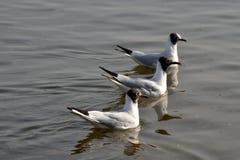 Three Gulls. Three black-headed gulls swimming in formation on Danube river Royalty Free Stock Photo