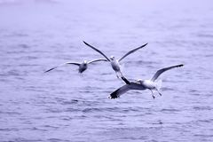Three gulls fight for fish. Stock Photos